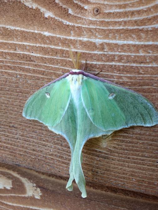 A Luna Moth by Natalie Sobanja.