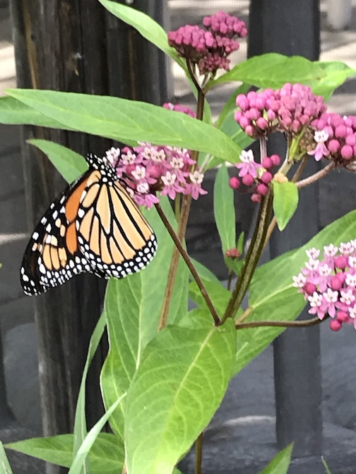 Monarch on milkweed, 2019, by Pat Zankman.