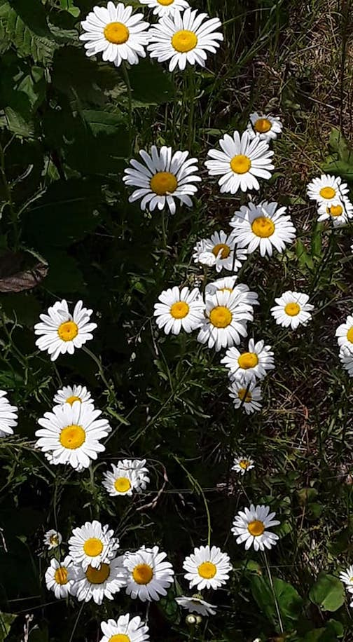 Daisies on the Border Trail by Siffy Torkildson.