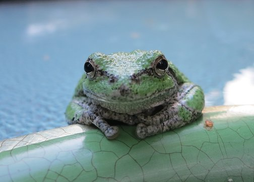 Betty Hamstead found this 3-toed tree toad dehydrated in her yard. Rehydrated and happy, the toad spent some time being friendly.