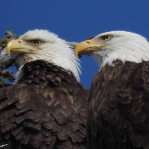 Eagle pair by Sarah Hamilton.