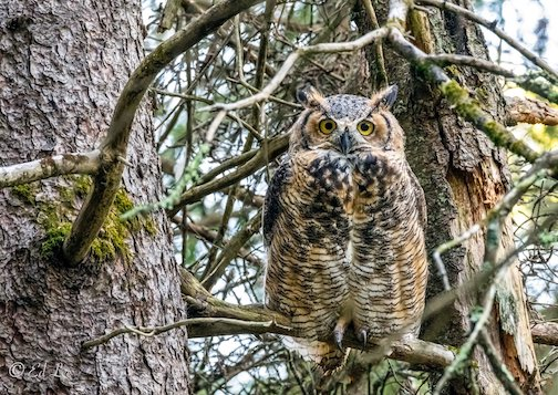 Horned Owl looking all grown up by Edward Lee.