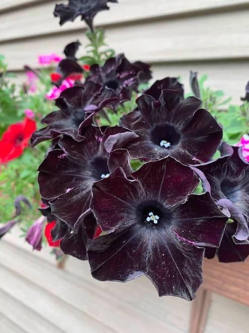 Black Petunias by Jim Boyd.