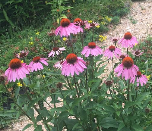 Purple Prairie Coneflowers by Joan Farnam.