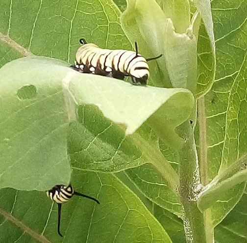 Looks like the milkweed plants mom gave me are really working. Photograph by Kim Knutson.