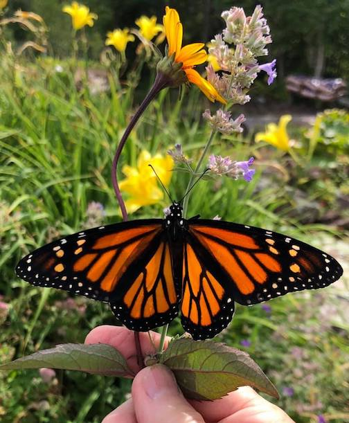 "Maryl Skinner hatched out monarch butterflies this year. She calls this one ""Kamala."""