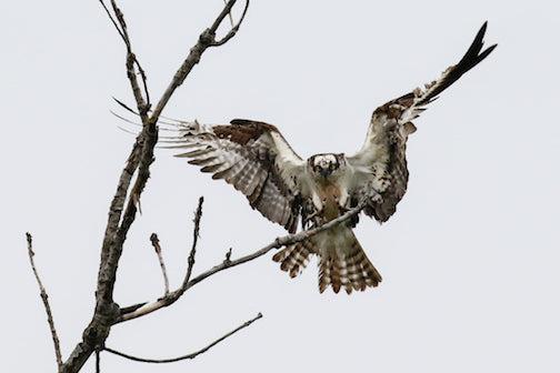 Osprey by Thomas Demma.