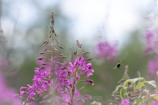 Fireweed and bee by Thomas Spence.