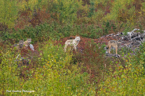 A white wolf and more respond to a moose call. Photo by Paul Sundberg.