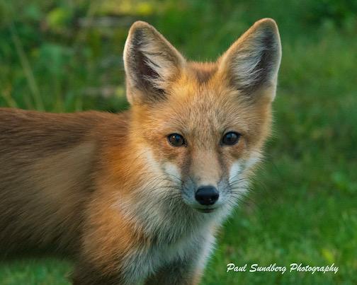 Red Fox: Almost grown up by Paul Sundberg.