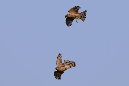 Marsh hawks playing in the sky by Thomas Demma.