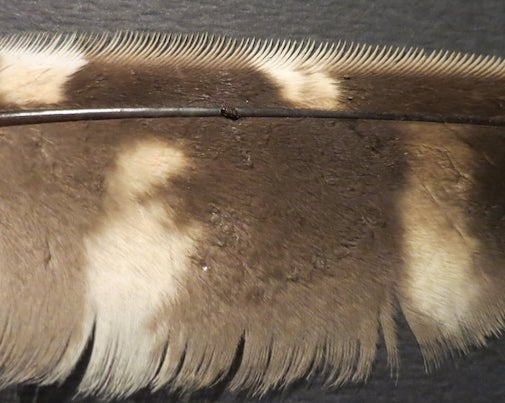 Barred owl feather by Betty Hemstad.