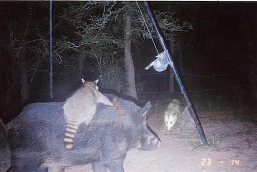 Why is the media not covering the fact that raccoons are breaking wild hogs and riding them into battle against the opossums? By Carol Dal Porto.