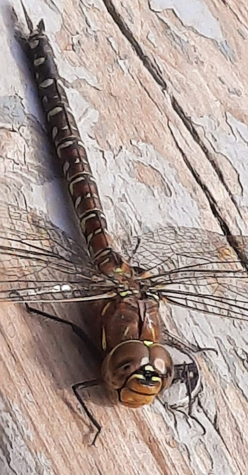 Female variable Darner in yellow form by Cathy Quinn.