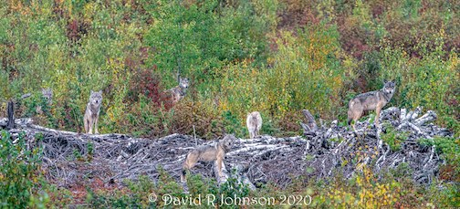 Wolf pack: Out calling moose the other day, but what shows up-- a pack of 6 or 7 wolves. By David Johnson.