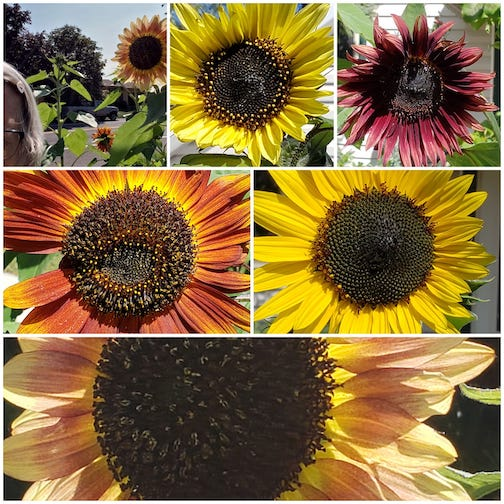 My sunflowers are getting taller than me by Jeanette Paulson.