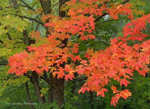 First maples by Paul Sundberg.