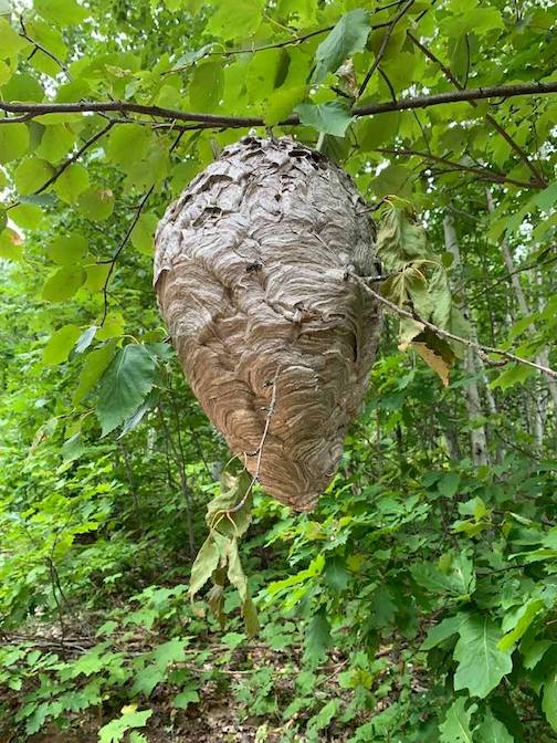 Wasp nest by Ron Piercy.