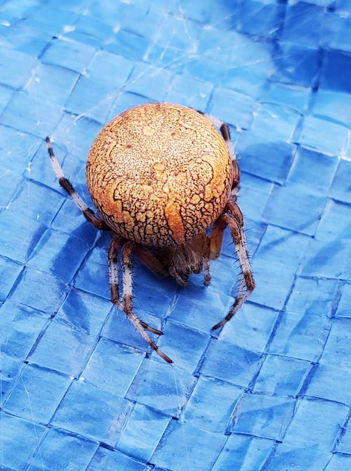Orb soder, Araneus marmoleum, commonly called the Marbled Orb Weaver by Shawn Perich.
