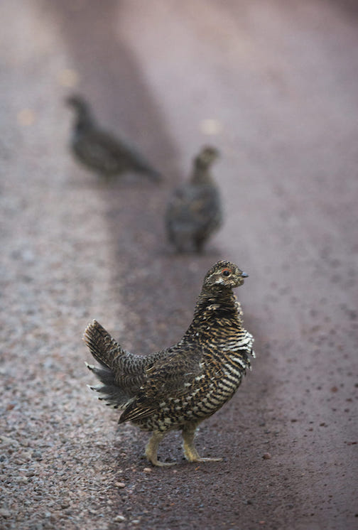 thomas spence nice group of spruce grouse last weekend