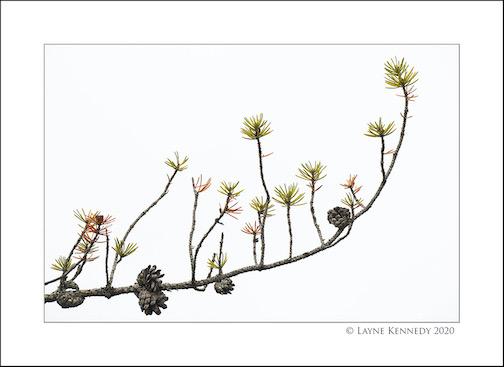 Pine needles by Layne Kennedy.