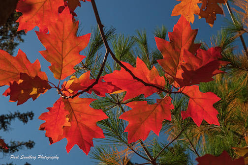 Red oak leaves this year by Paul Sundberg.