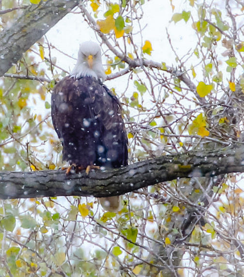 """""""Nancy,"""" one of the Bald Eagles on the DNR nest in St. Paul, shrugging off the snow."""