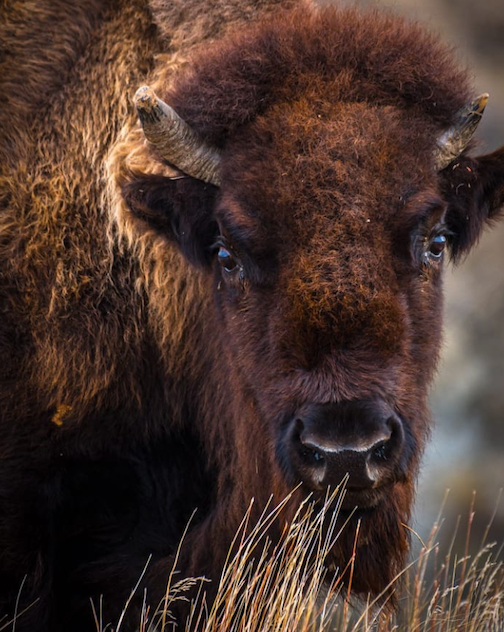 Buffalo by Christian Dalbec.