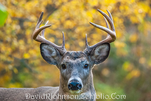Fall Buck by David R. Johnson, one of the photographs on view at the Johnson Heritage Post.