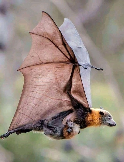 Getting a snack on the wing--grey headed flying fox and her youngster, posted by avantagrdens on Facebook.