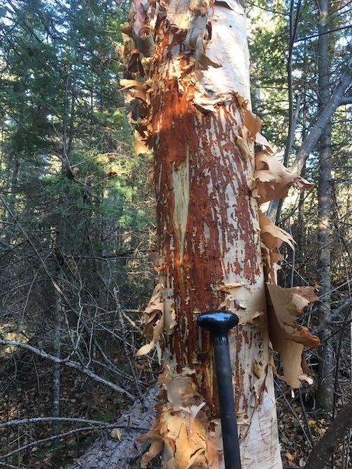 Incredible moose rub by Nancy Seaton.
