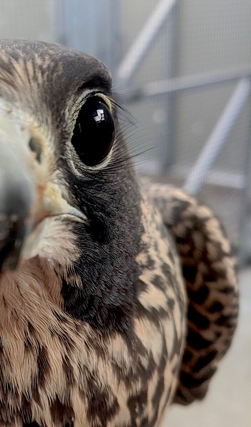 Come eye to eye with a Peregrine Falcon in the Raptors of the North Shore webinar, which will be online, live, at 7 p.m. Thursday, Oct. 2. To register, click here.