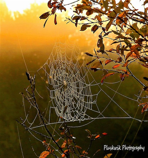 Spider web at dawn by Paul Pluskwik.