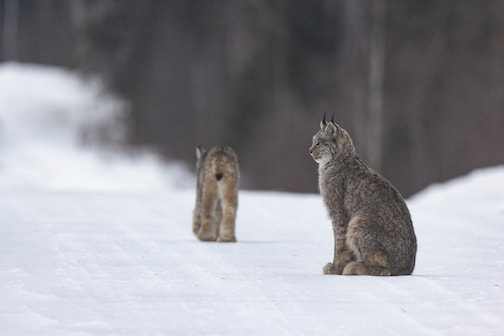 Canada Lynx by Thomas Spence. Looking forward to see these this year, he writes.