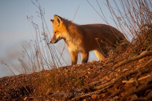 Sunrise fox by Thomas Spence.