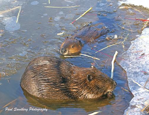 Gooseberry River Beavers by Paul Sundberg.