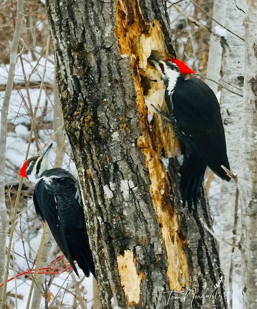 Pileated woodpecker. This is the companionship I seek as winter settles over the Northwoods by Tom Norquist.
