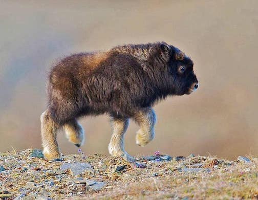 The cutest... a baby Musk Ox. Photographer unknown own.