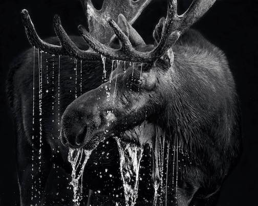 Moose by Benjamin Olson.