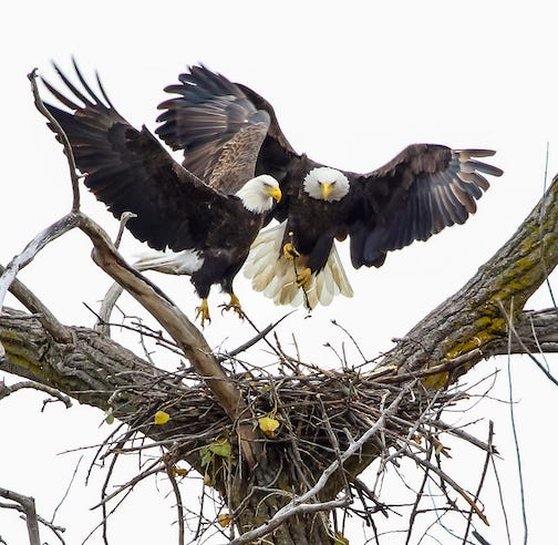 Mom and Pop rebuilding their nest for next year by Bonnie Affolter.
