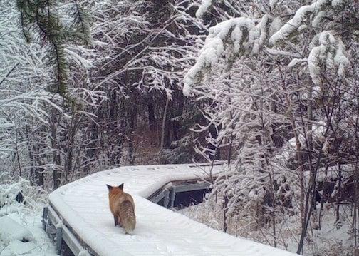 A Chik-Wauk fox  by Bonnie Shudy.