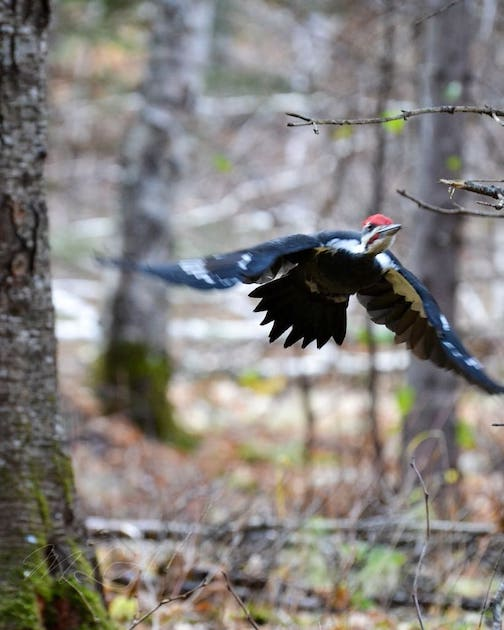 Pileated Woodpecker... this guy just flew right at me by Meadow Adams.