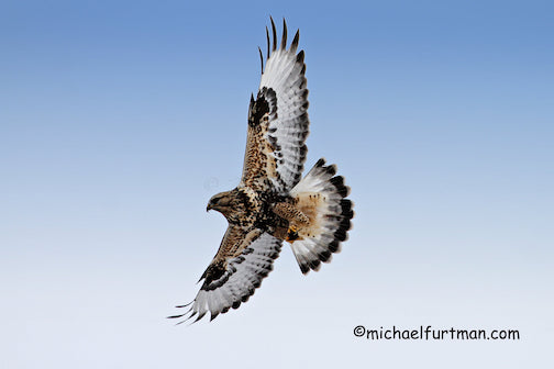 Rough-legged hawk, light morph by Michael Furtman.