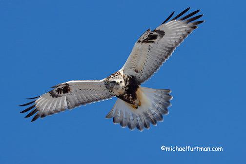 Rough-Legged Hawk, light morph, juvenile by Michael Furtman,