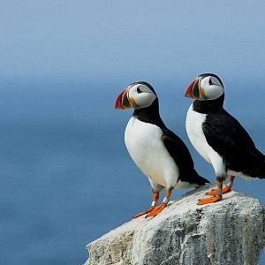 north house the puffins of North Greenland