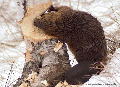 A beaver caught in the act at Gooseberry River by Paul Sundberg. He had the tree down within half and hour of this photo.