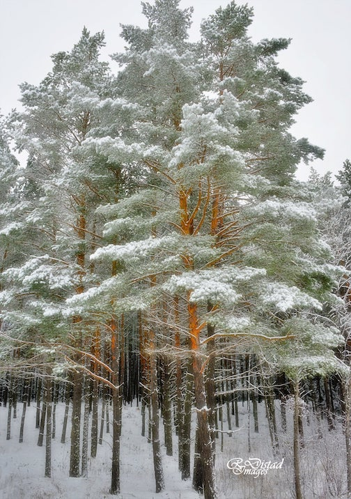 Snowfall on a pine forest by Roxanne Distad.