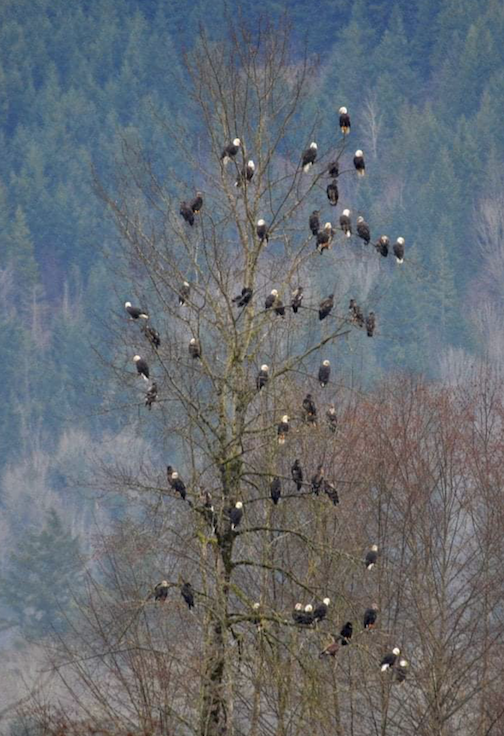 The eagle tree. Photo by Ryan Barthel.