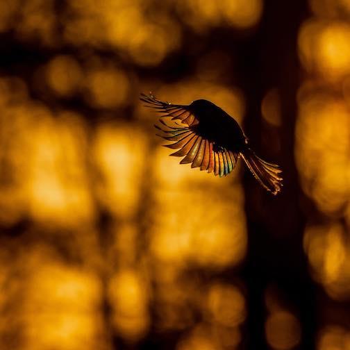 Rainbow chickadee by Sparky Stensaas.