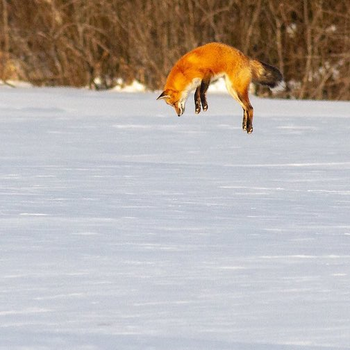 Airborne. Red Fox by Sparky Stensaas.